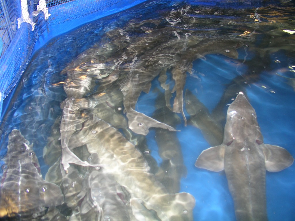 Breeding sturgeon in RAS. Breeding sturgeon occurs in a basin